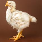 άσπρο κοτόπουλο κρεοπαραγωγής