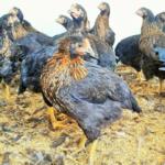 Μεγάλα μαύρα κοτόπουλα αυγοπαραγωγής
