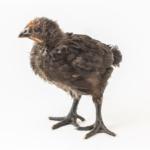 Μαύρα κοτόπουλα αυγοπαραγωγικά